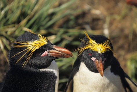 Macaroni penguins. © Getty Images