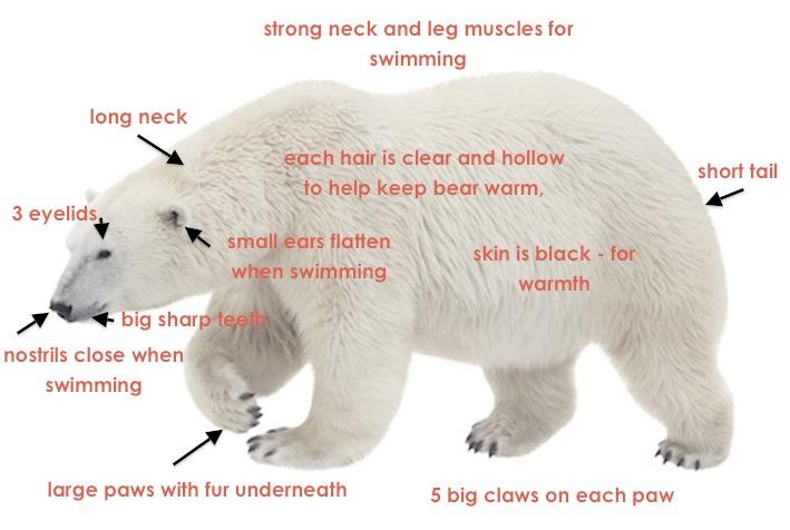 Polar Bears Live Near The North Pole