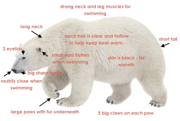 polar_bear_annotate_jup polar bear body parts diagram