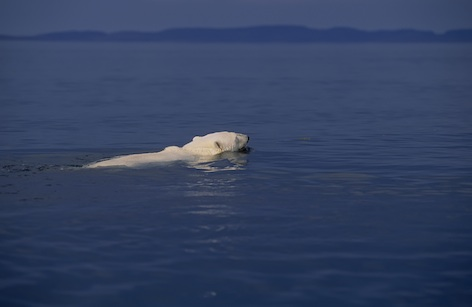 Polar bears swim far out in the open sea ©Getty Images