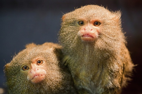 The smallest monkey is the pygmy marmoset at just 100g. Getty Images