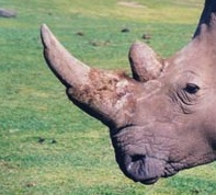 Rhino horn: see the hair (keratin) fibres near the base. ©kidcyber