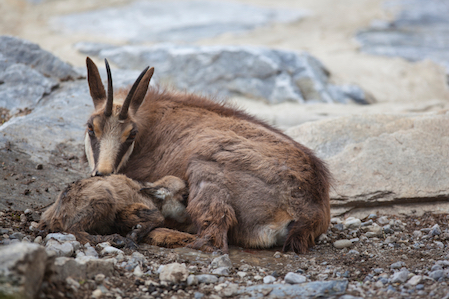 A chamois (a goat-antelope) with a new born kid © Getty Images