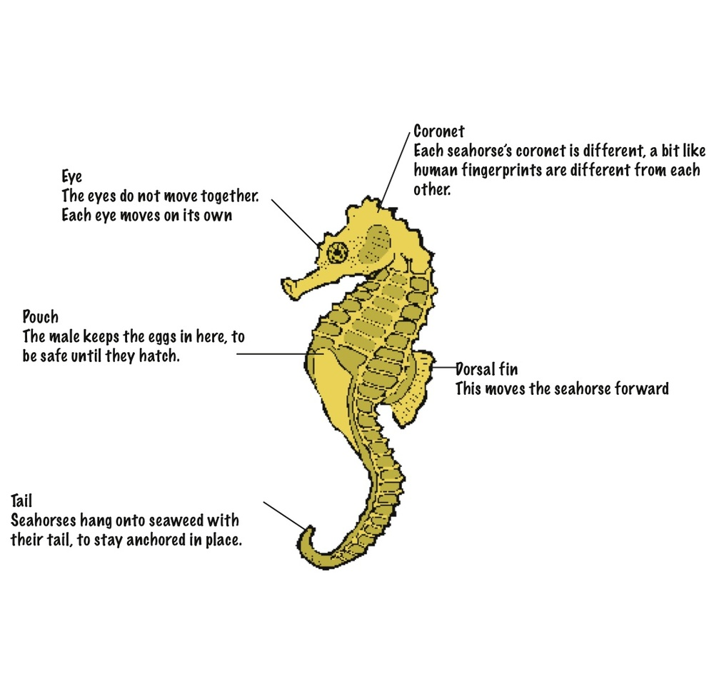 Labelled diagram of a seahorse body ©kidcyber