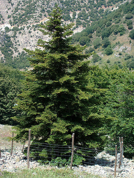 The is a Sicilian Fir, a critically endangered species endemic to the Italian island of Sicily (Wikipedia)