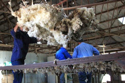 A newly shorn fleece being tossed onto the wool classing table ©Getty Images
