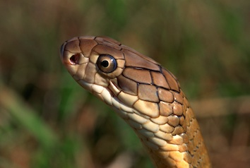 Snakes can't close their eyes ©Getty Images