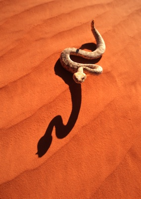 A rattlesnake moving in a sidewinder motion on sand ©Getty Images