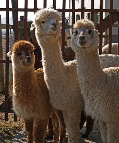 Alpacas ©Getty Images