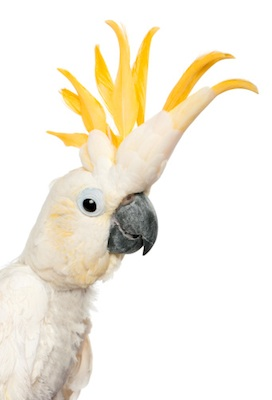 A cockatoo with crest opened. ©Getty Images