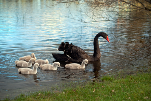 The Swan River is named for the black swans that live there © Getty Images