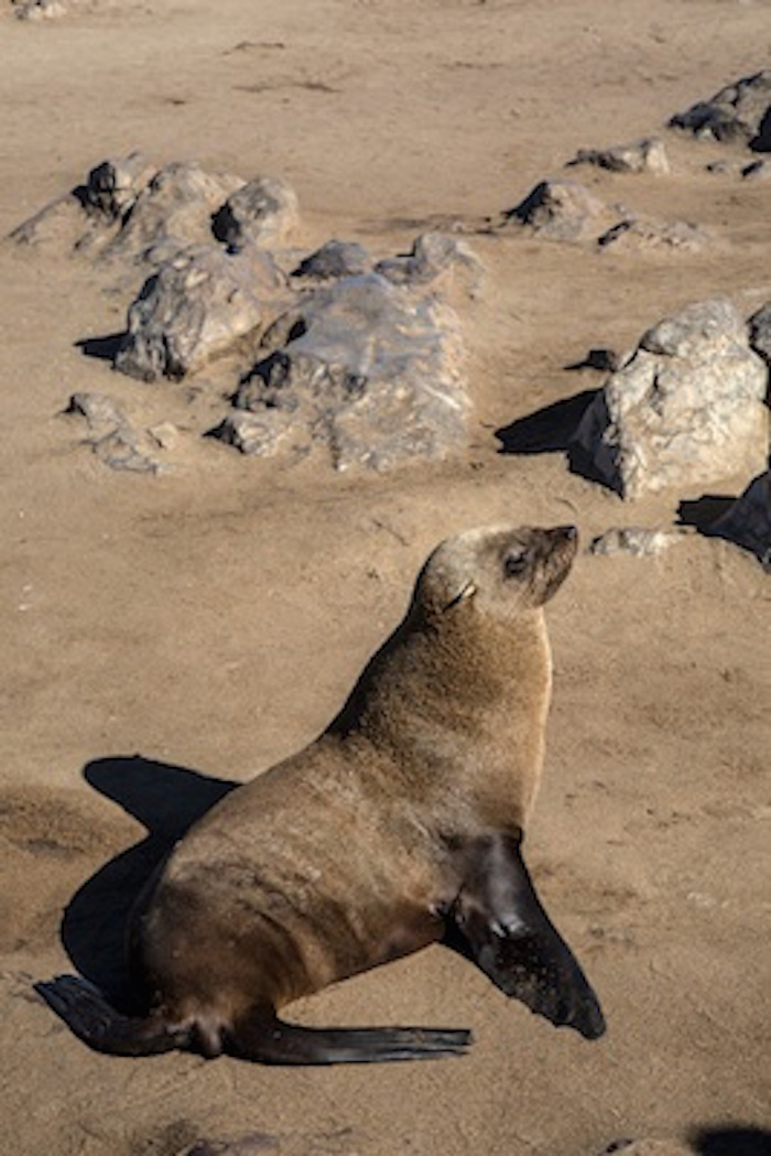 Sea lions can rotate their back flippers forward so they can move better on land. Seals can't rotate their back flippers like that. ©Getty Images