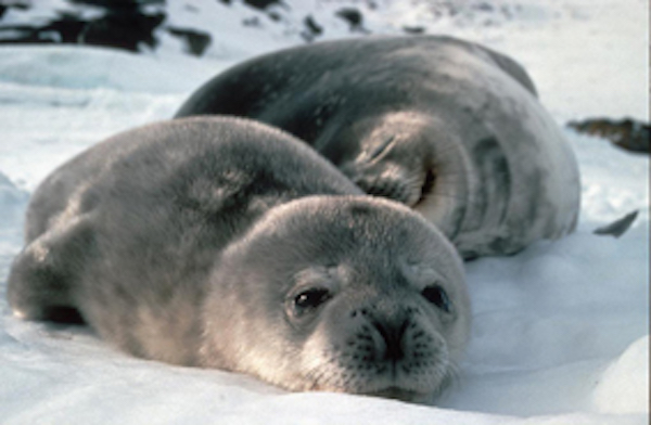 Weddell seals sunbaking on the snow ©Getty Images