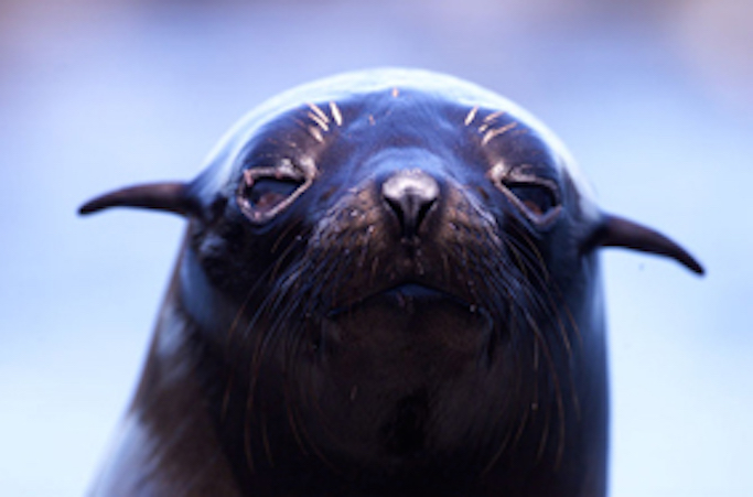 Australian fur seal pup ©Getty Images