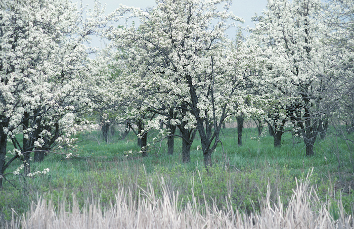 An orchard in spring. ©Getty Images
