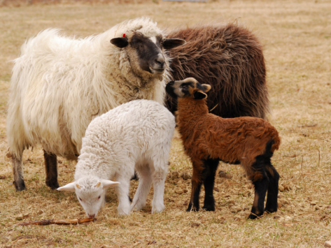 Some kinds of sheep have coloured fleece. ©Getty Images