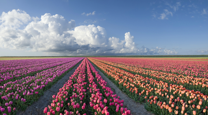 Rows of tulips in a flower farm