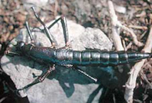 Lord Howe Island stick insect. ©Getty Image
