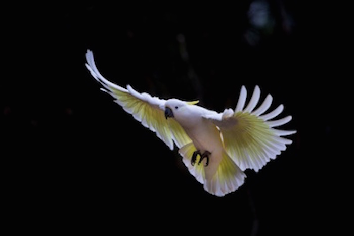 When the sulphur-crested cockatoo flies, the yellow feathers under the wings and tail can be seen.  ©Getty