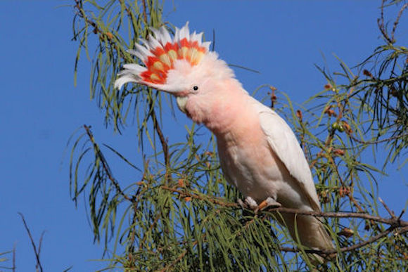 A Major Mitchell's cockatoo, named for Mitchell.
