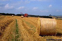 A combine harvester cuts down the plants and separates the grain from the rest of the plant. The straw or hay is used to feed farm animals.