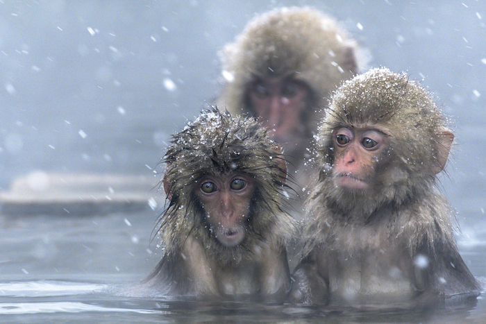 Macaque monkeys in a hot pool. Getty