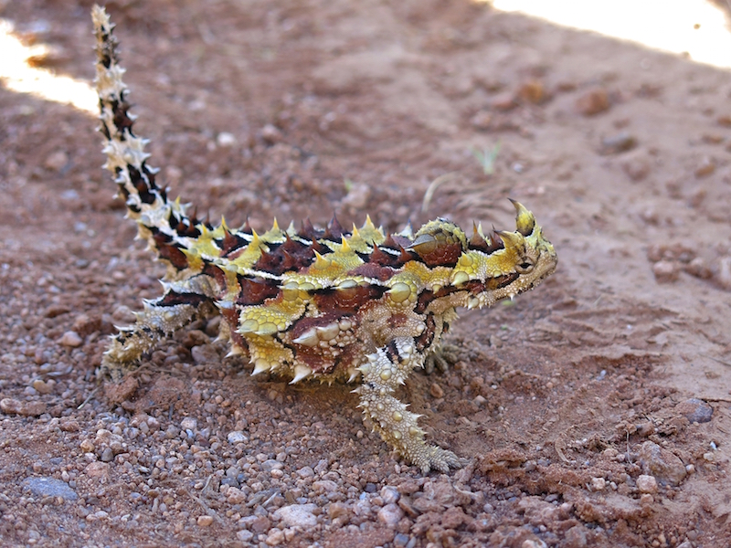 Thorny devil . Can you see the 'false head' bump on the back of its neck? Getty Images