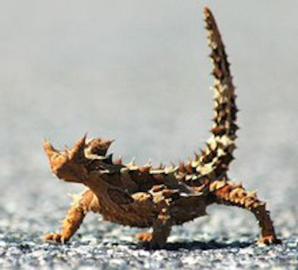 Thorny devils often curl their tails in the air. Getty Images