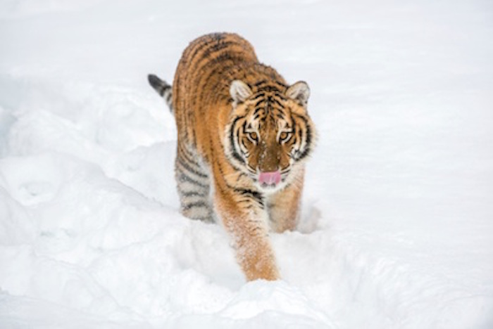 A Siberian tiger in the snow ©Getty Images