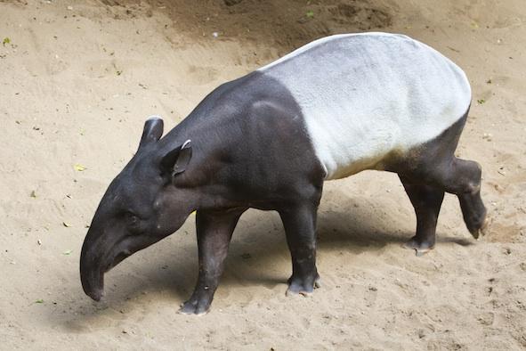 Malayan tapir ©GettyImages