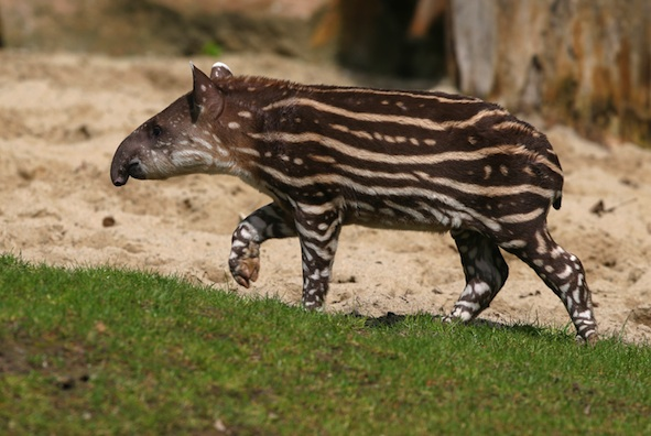 Young tapir ©Getty Images