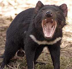 tasmanian devil  �getty images