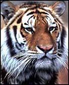 tiger_sth china.jpg