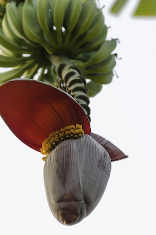 Banana trees originated in tropical rainforest. ©Getty Images