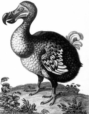 The extinct dodo. ©Getty Images
