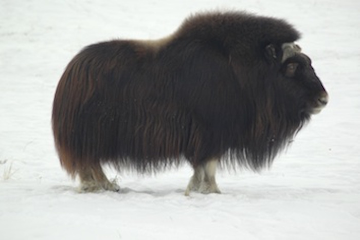 Muskox on the tundra ©Getty Images