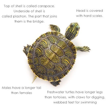 tortoisebody_TS.jpg