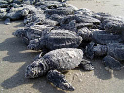 Kemp's Ridley sea turtle hatchlings ©Getty Images