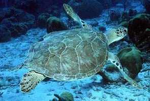 Olive Ridley sea turtle ©Getty Images