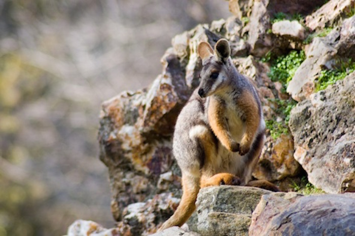 A yellow-footed rock wallaby. ©Getty Images