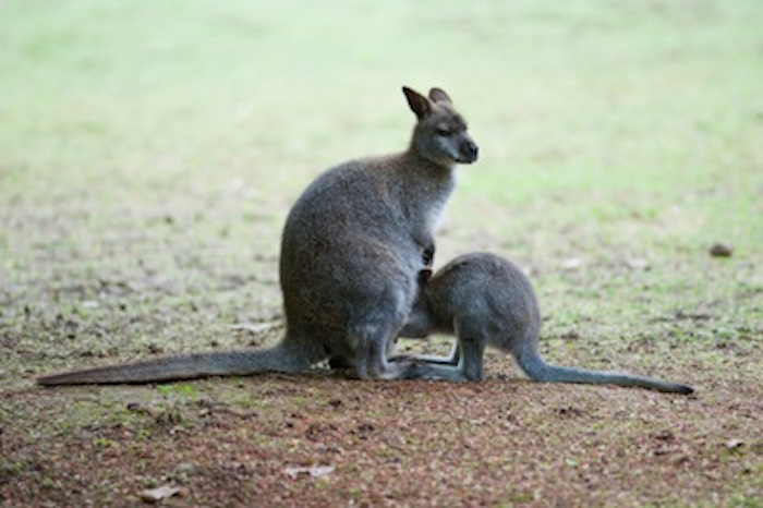 Older joeys spend increasing time out of the pouch but still return for feeds. ©Getty Images