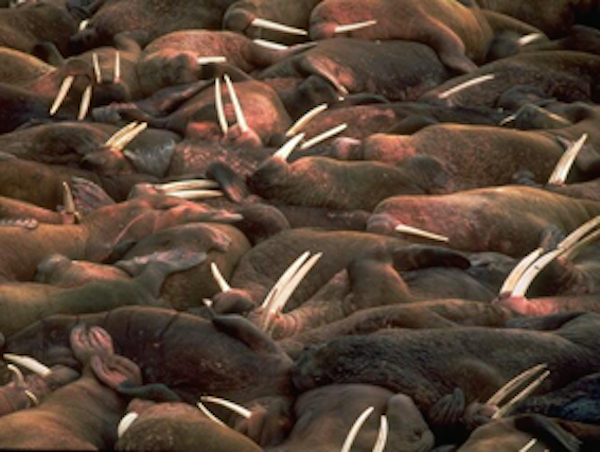 Walrus gather in herds. ©Getty Images
