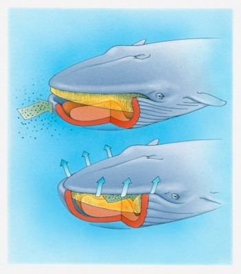 Diagram showing how baleen whales feed. ©Getty Images