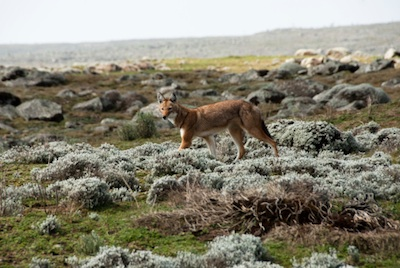 Ethiopian wolf ©Getty Images