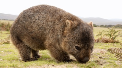 Common, or bare-nosed, wombat. ©Getty Images