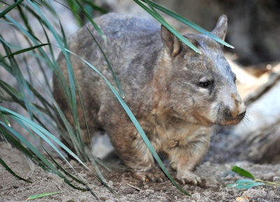 Southern hairy-nosed wombat. ©Getty Images