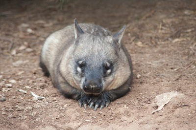 Northern hairy-nosed wombat ©Getty Images