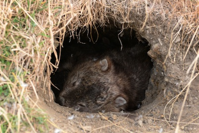 Tasmanian common wombat in burrow entrance ©Getty Images