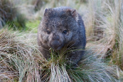Common wombat ©Getty Images
