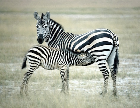 A zebra calf suckling milk from its mother. ©Getty Images